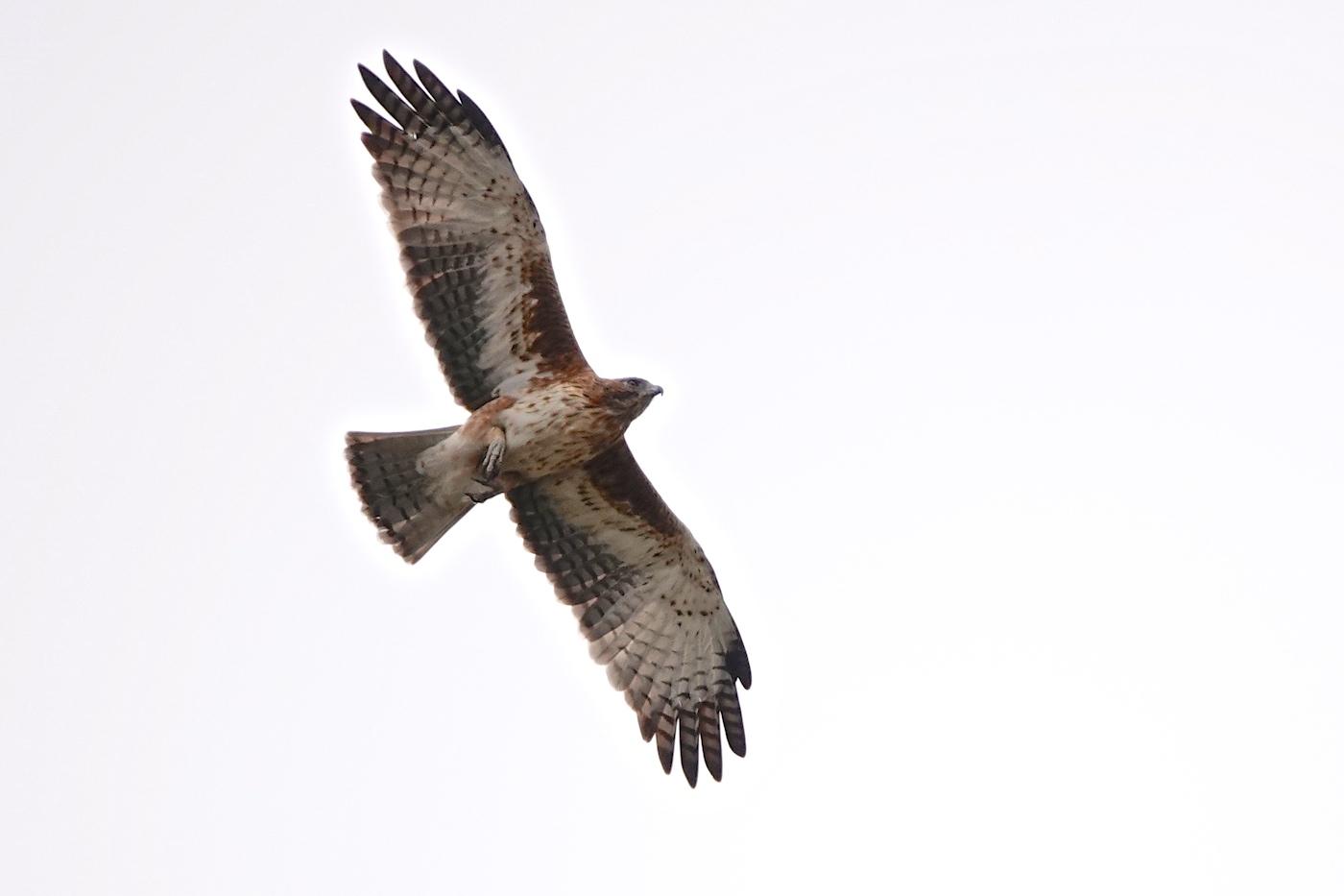 Little Eagle (Image ID 35495)