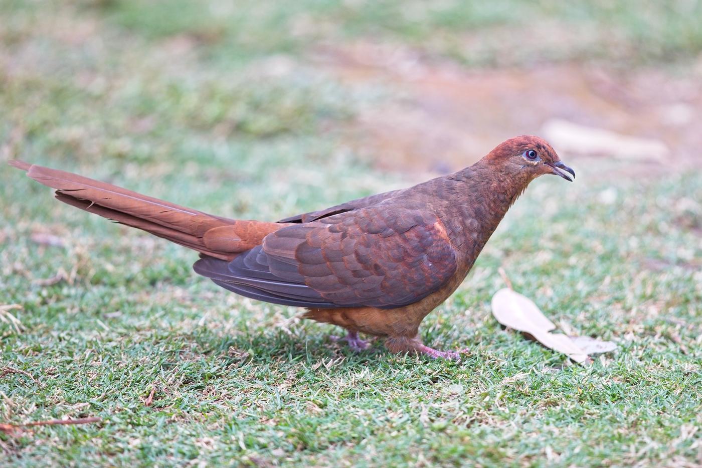 Brown Cuckoo-Dove (Image ID 35152)