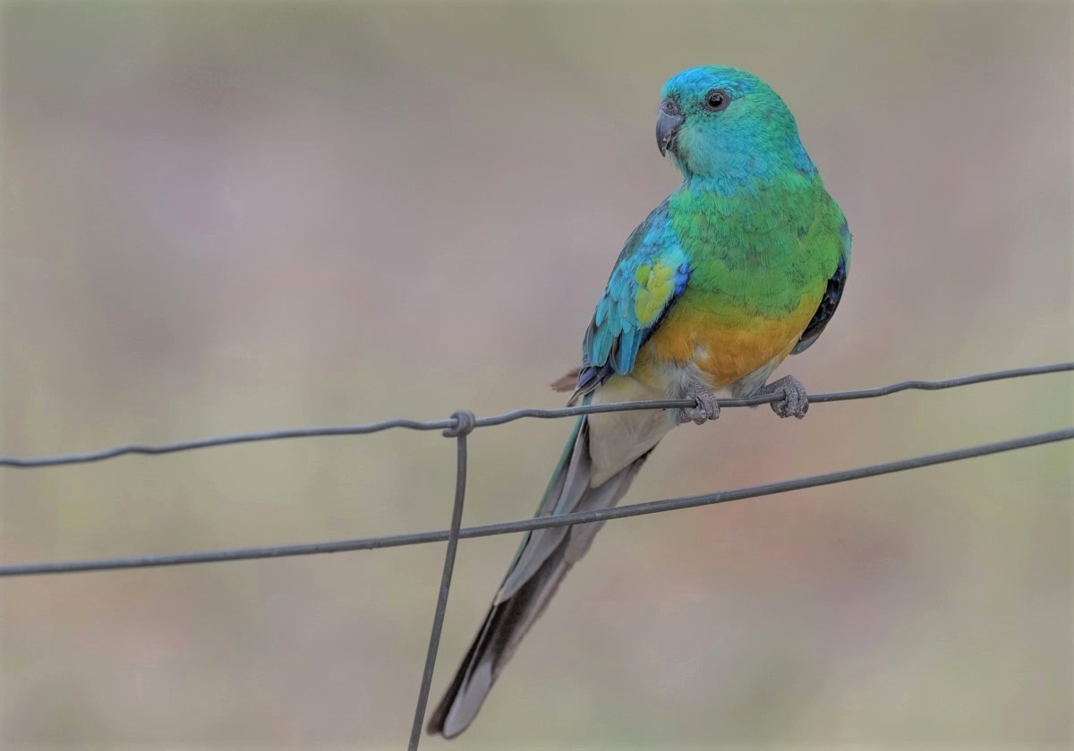 Red-rumped Parrot (Image ID 35108)