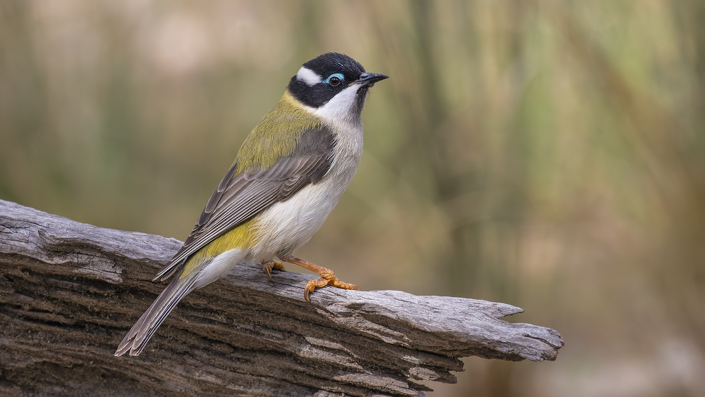 Black-chinned Honeyeater (Image ID 35507)