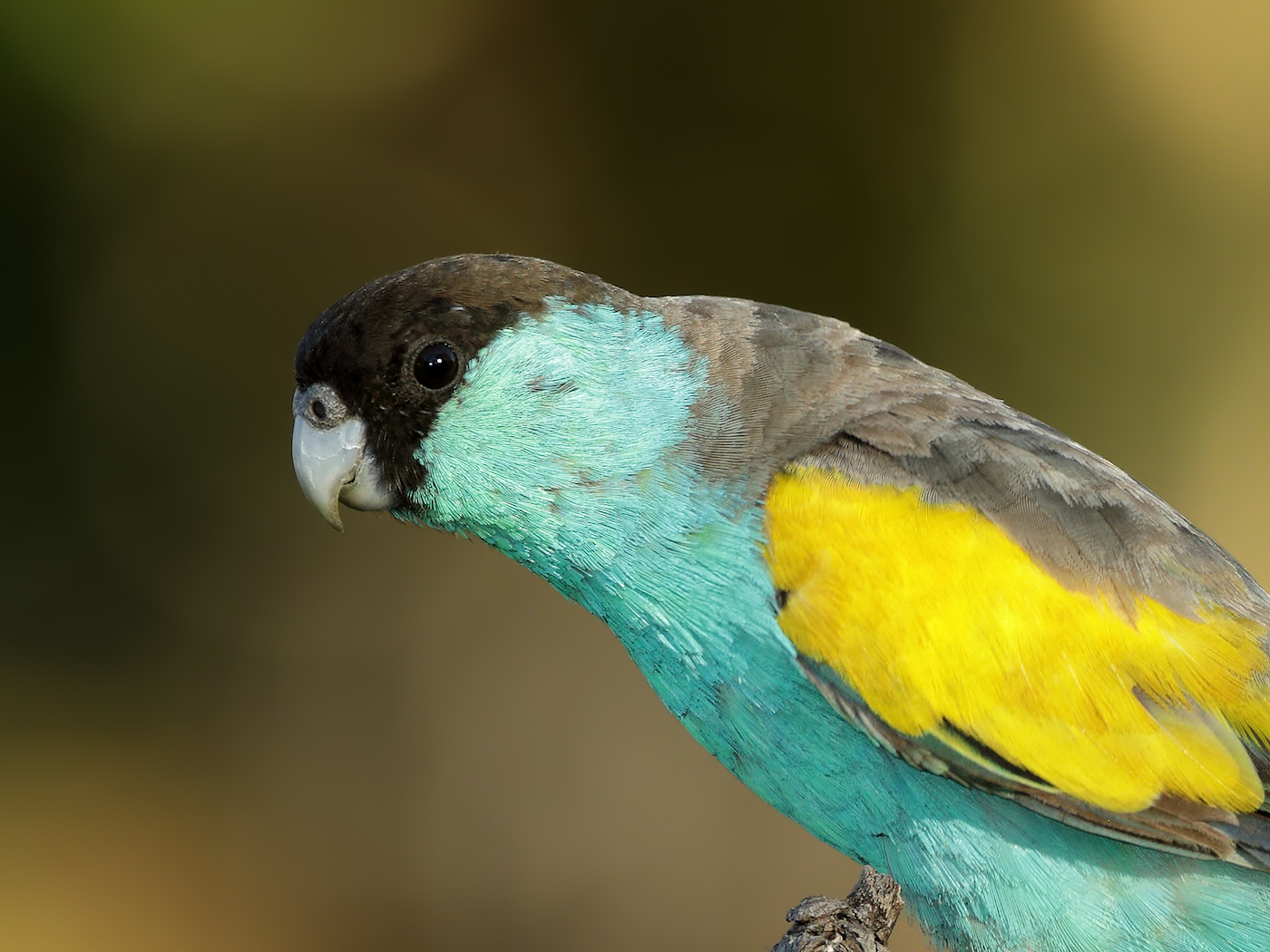 Hooded Parrot (Image ID 35456)
