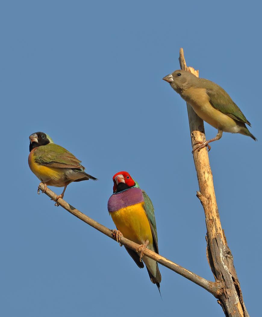 Gouldian Finch (Image ID 35460)