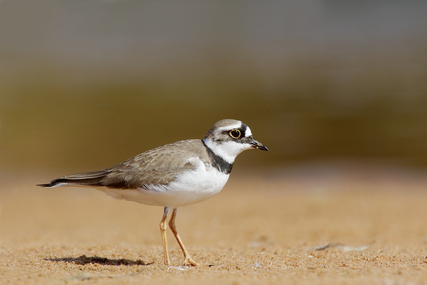 Little Ringed Plover (Image ID 35212)