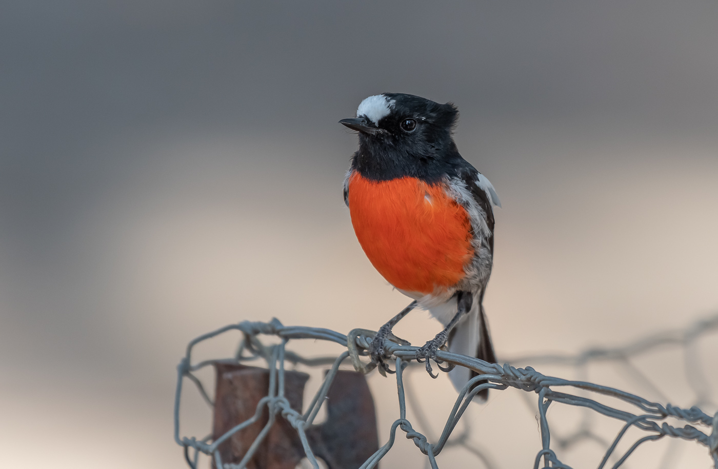 Scarlet Robin (Image ID 35110)