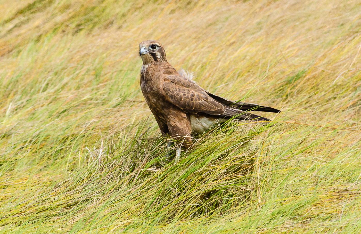 Brown Falcon (Image ID 35100)