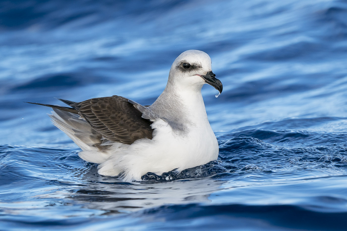 White-headed Petrel (Image ID 35482)