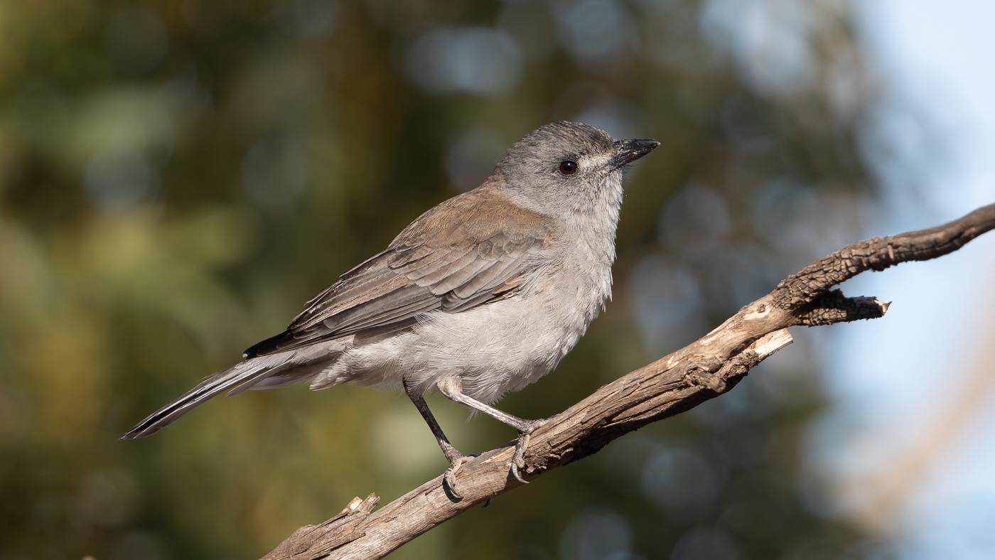 Grey Shrike-thrush (Image ID 35473)