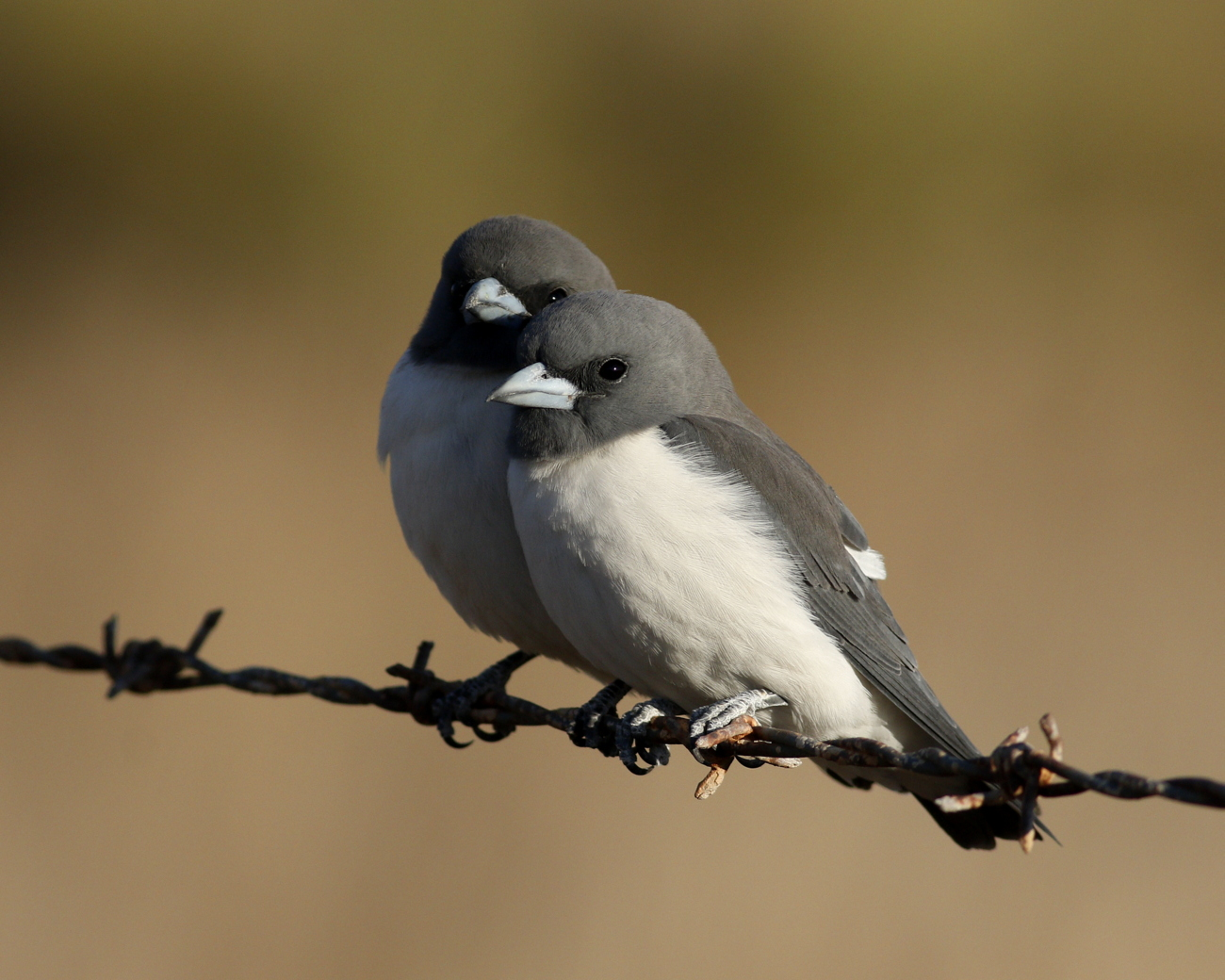 White-breasted Woodswallow (Image ID 35192)