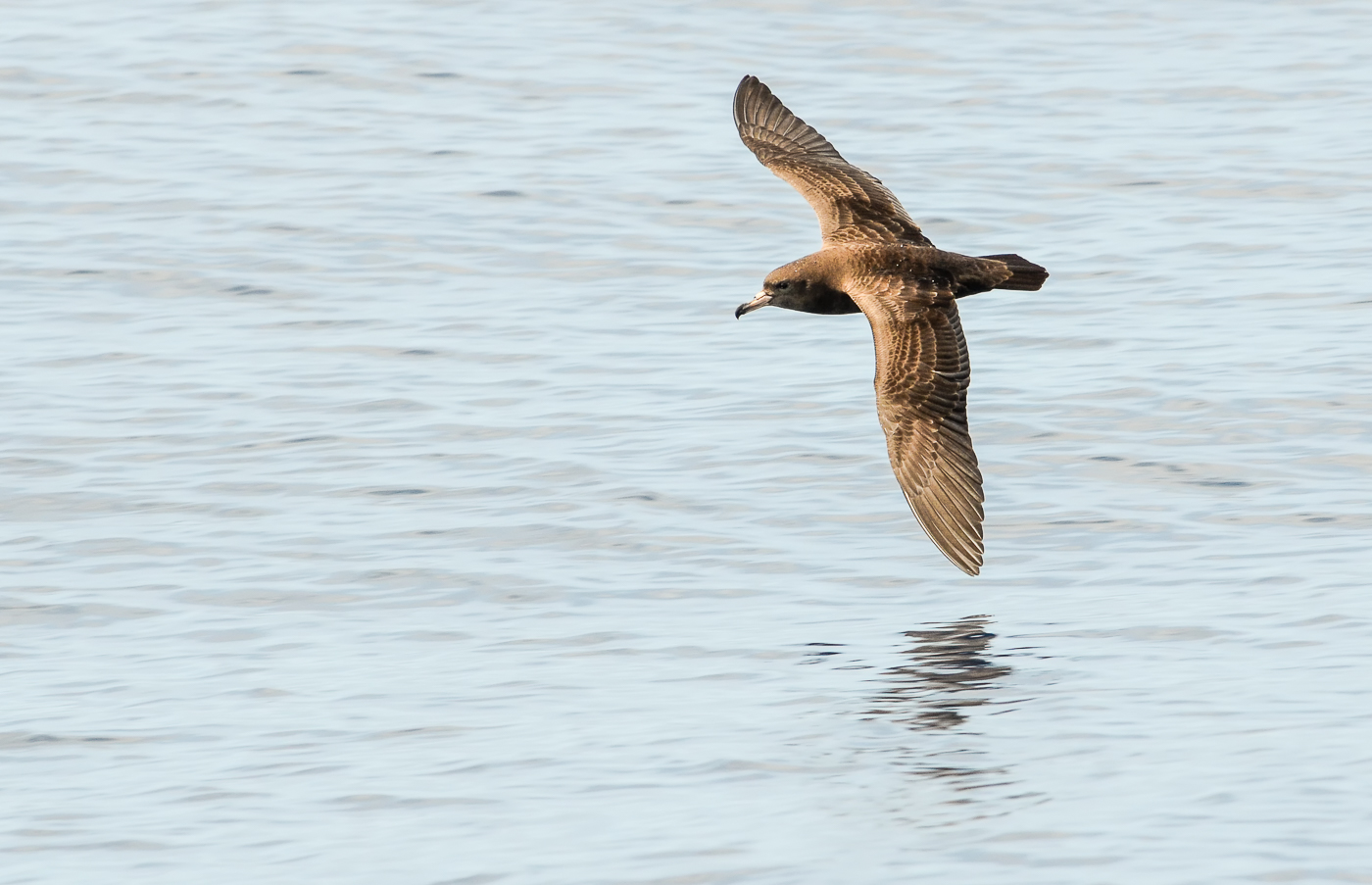 Flesh-footed Shearwater (Image ID 35129)