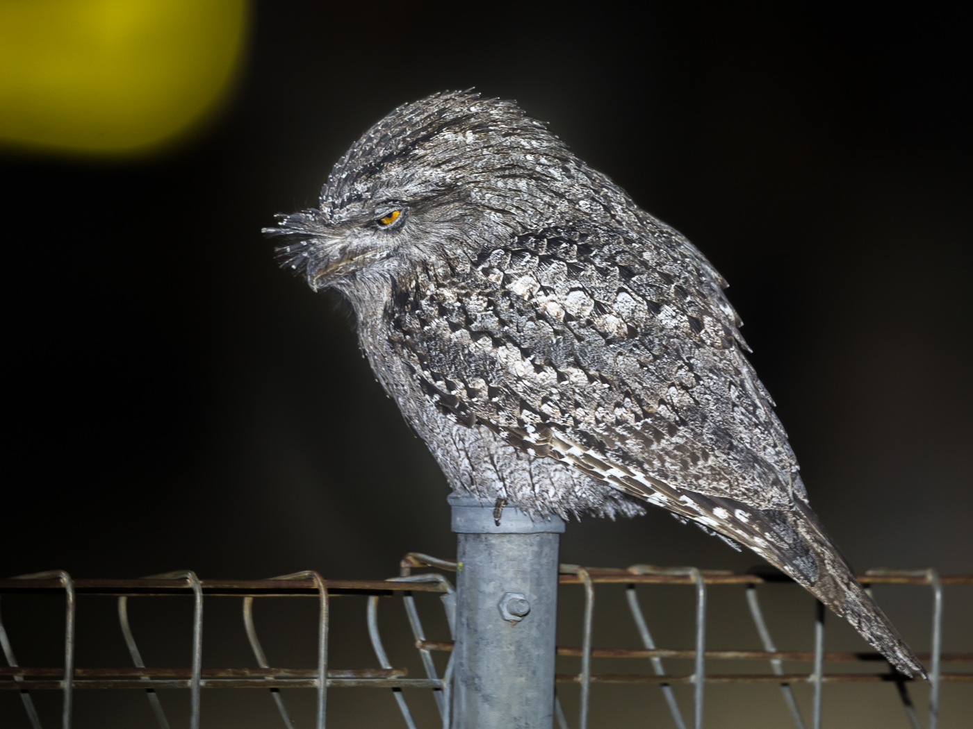 Tawny Frogmouth (Image ID 35291)