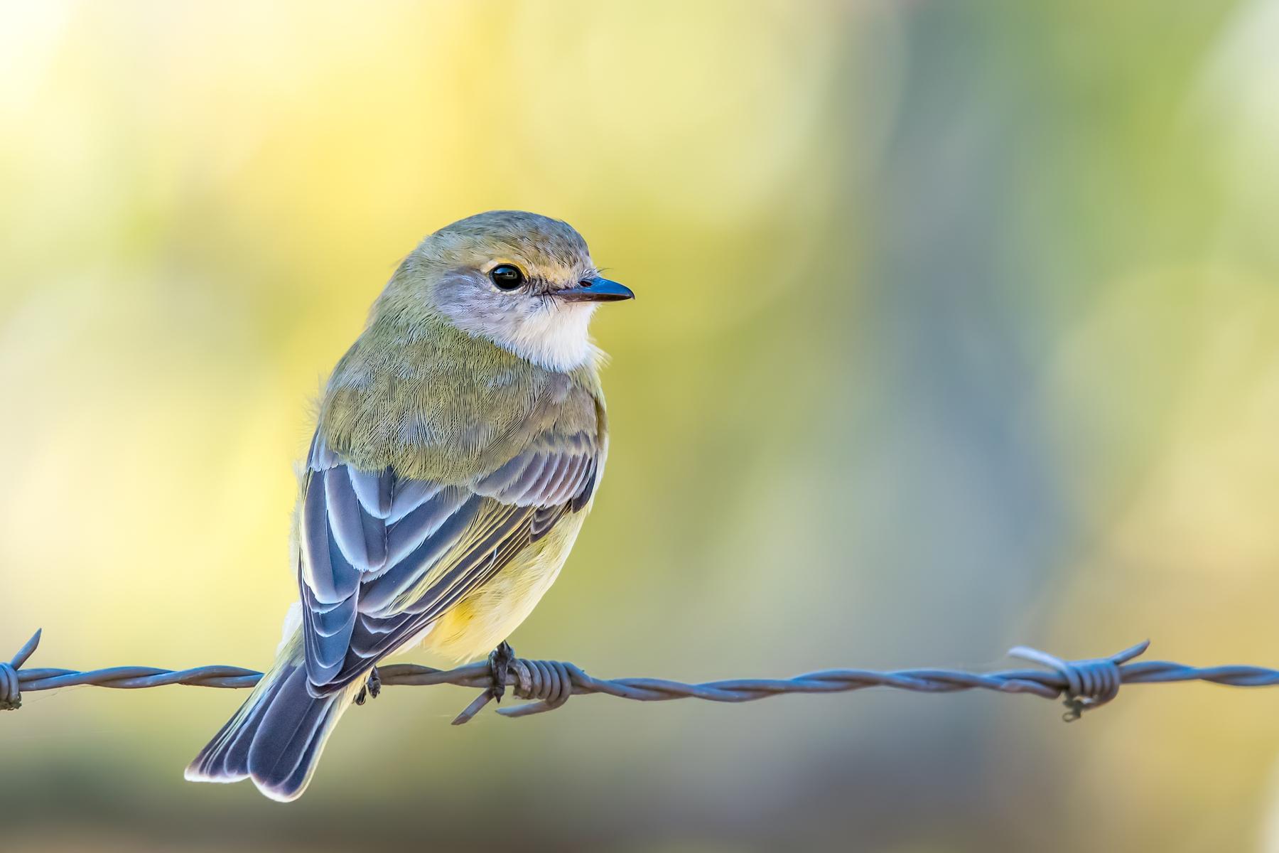 Lemon-bellied Flycatcher (Image ID 35270)
