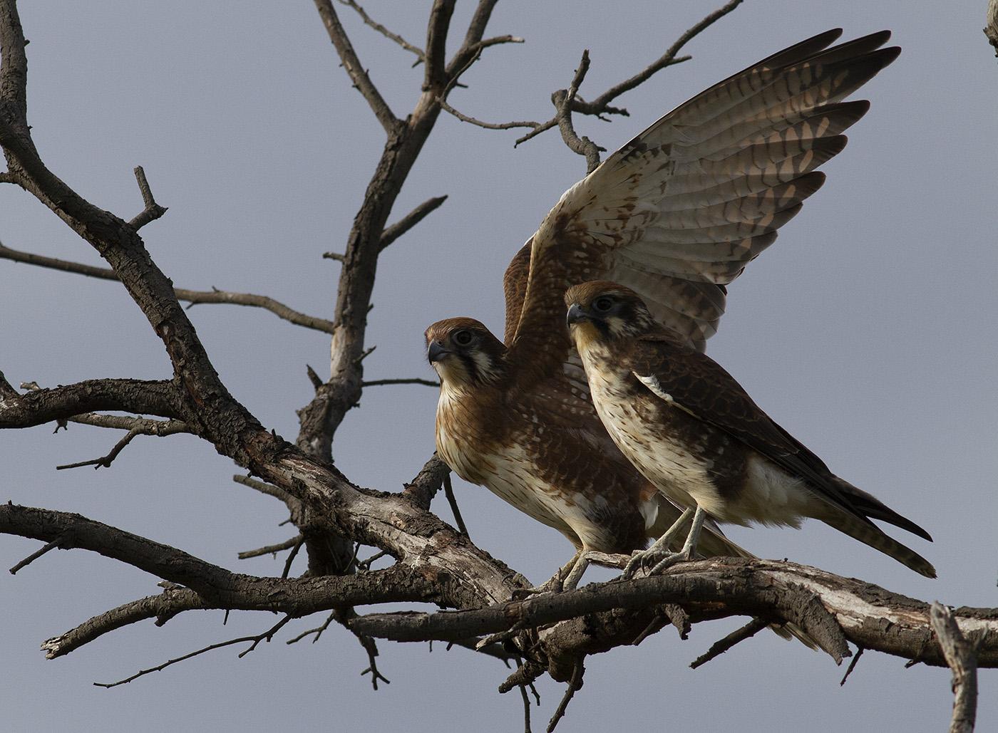 Brown Falcon (Image ID 35452)