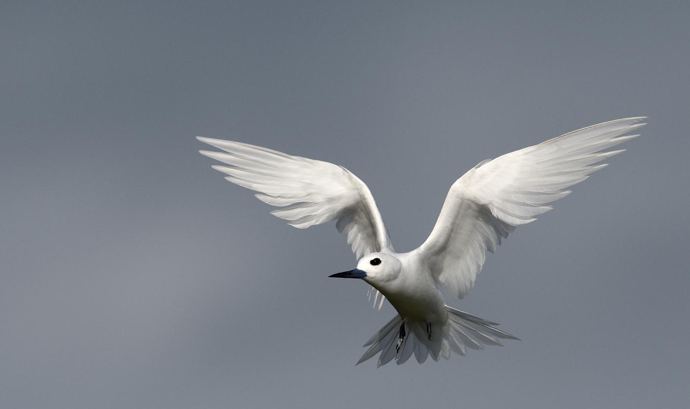 White Tern (Image ID 35398)