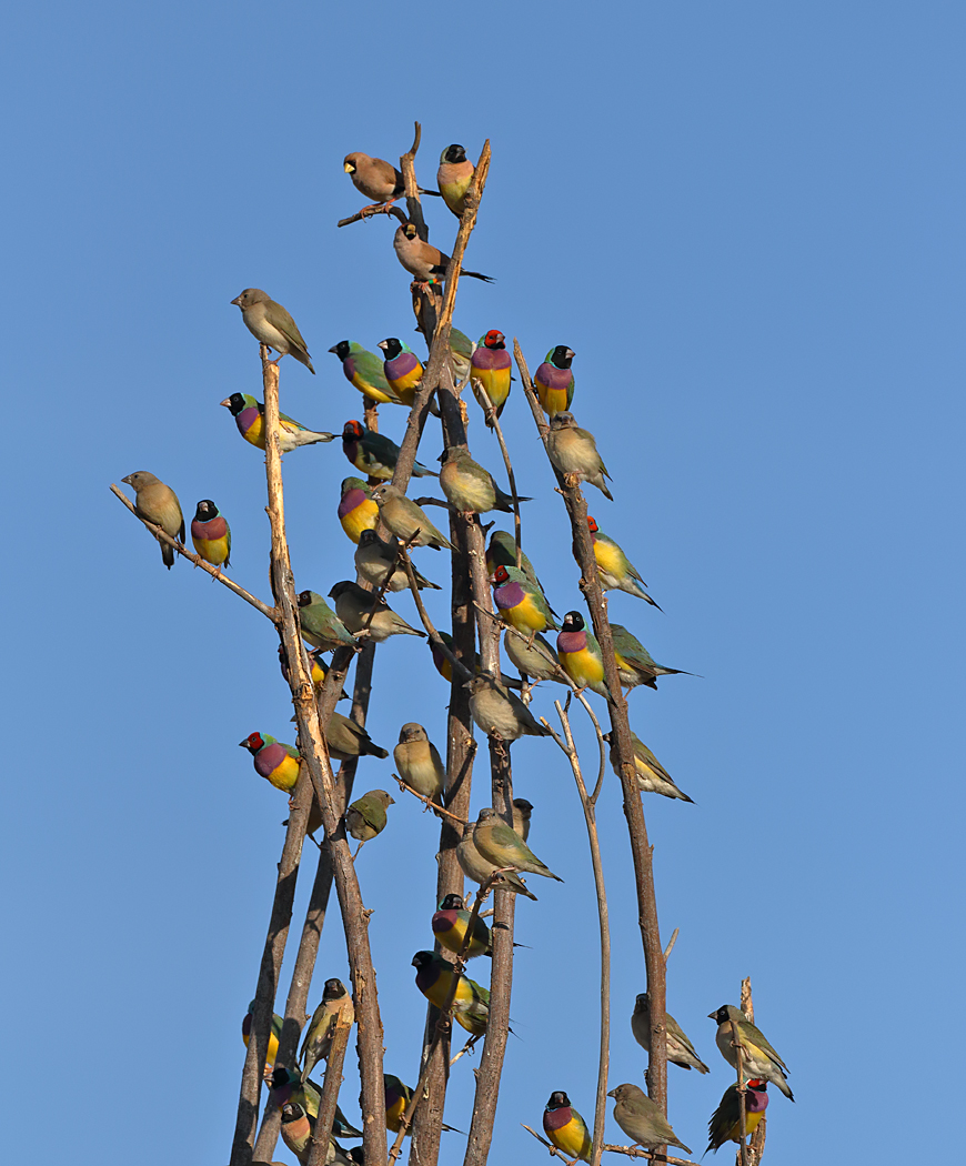 Gouldian Finch (Image ID 35459)