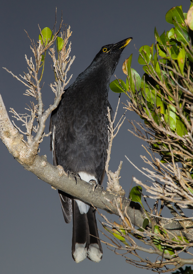 Pied Currawong (Image ID 35527)