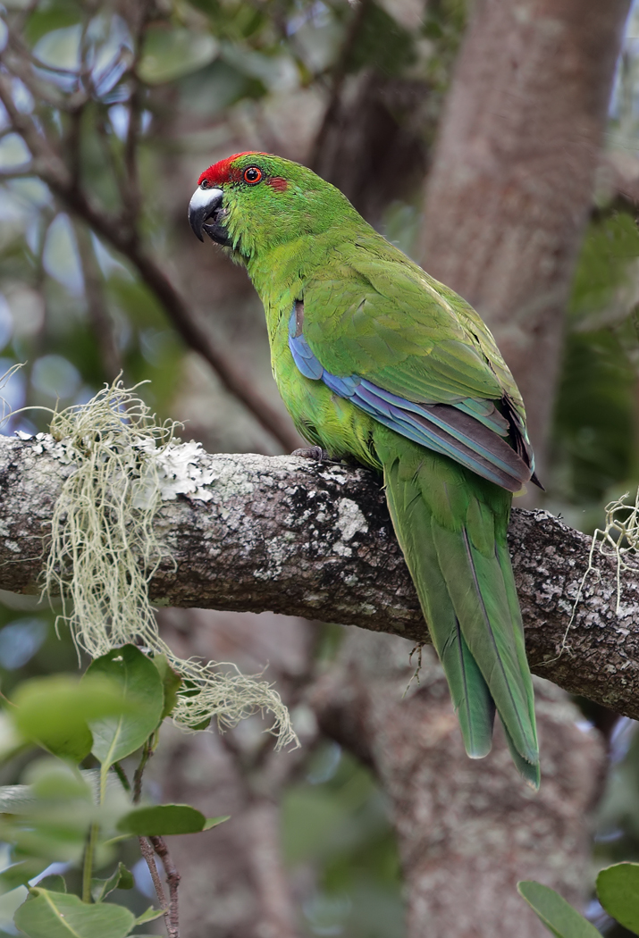 Red-fronted Parakeet (Image ID 35111)