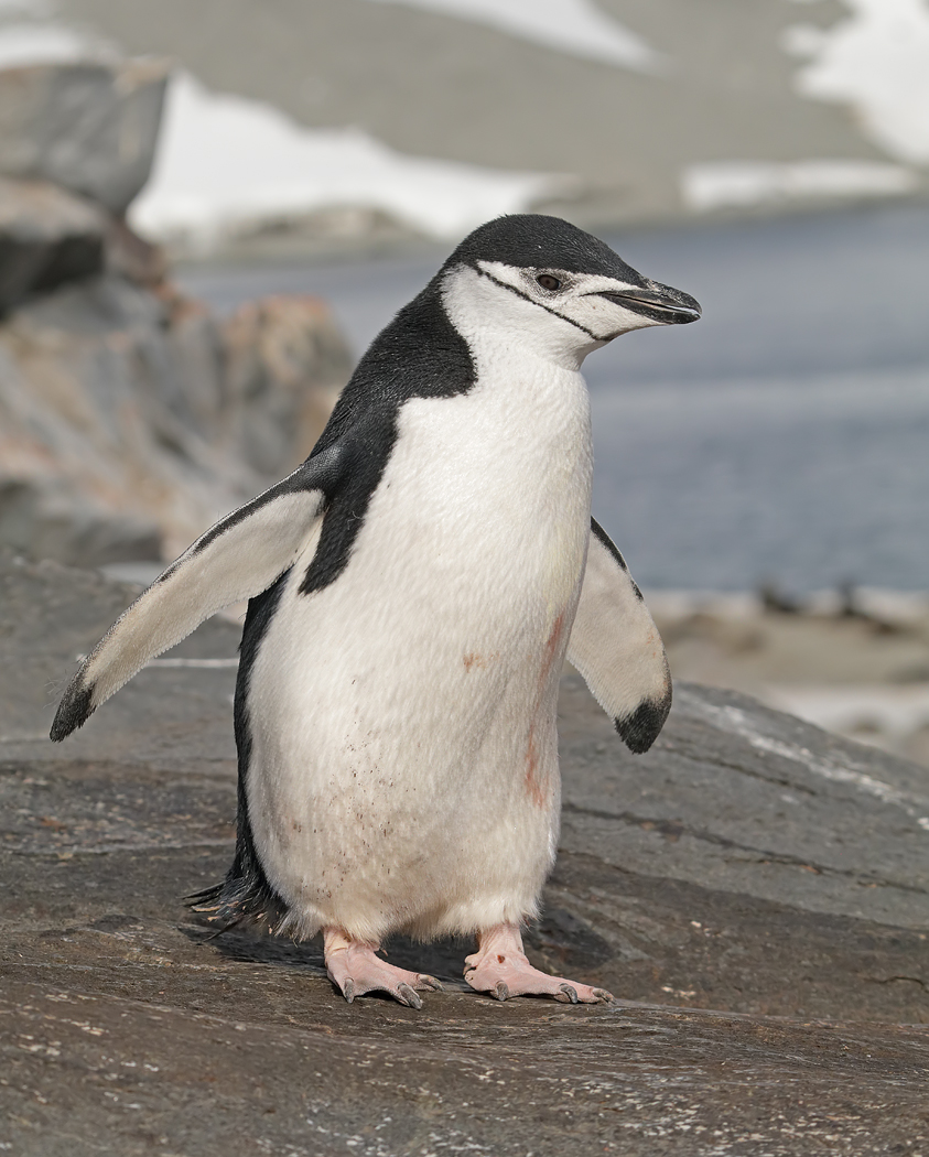 Chinstrap Penguin (Image ID 35269)