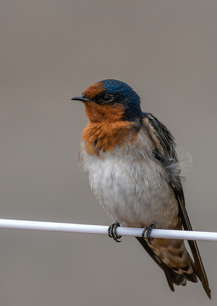 Welcome Swallow (Image ID 35261)