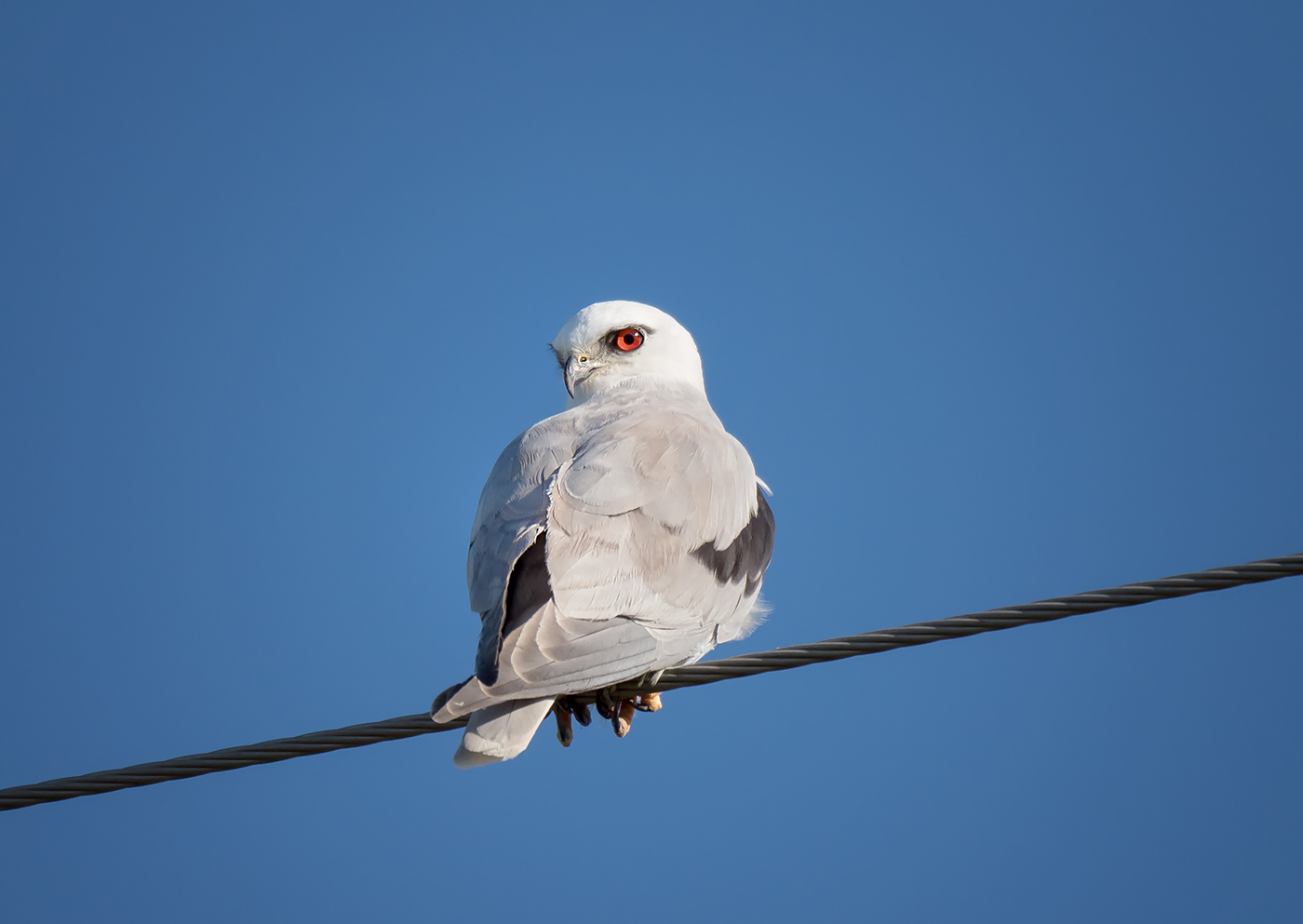 Black-shouldered Kite (Image ID 35264)