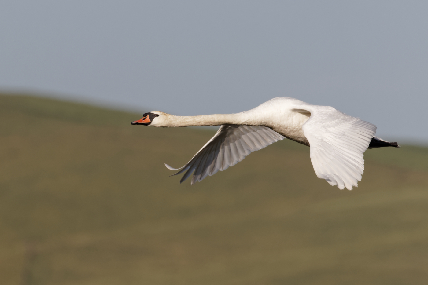 Mute Swan (Image ID 35521)
