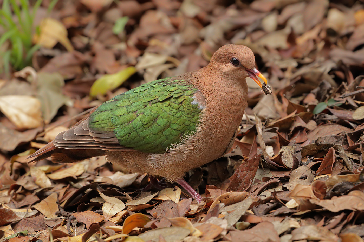 Brown-capped Emerald-Dove (Image ID 35313)