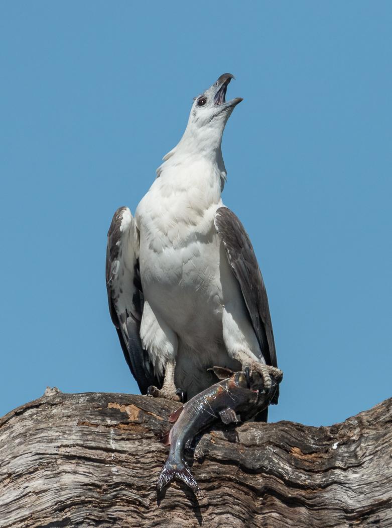 White-bellied Sea-Eagle (Image ID 35519)