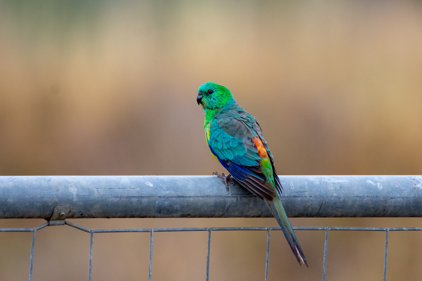 Red-rumped Parrot (Image ID 35368)