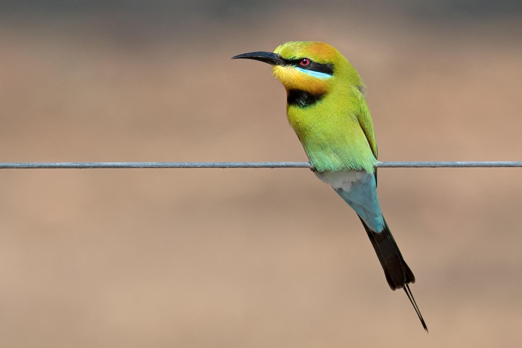 Rainbow Bee-eater (Image ID 35357)