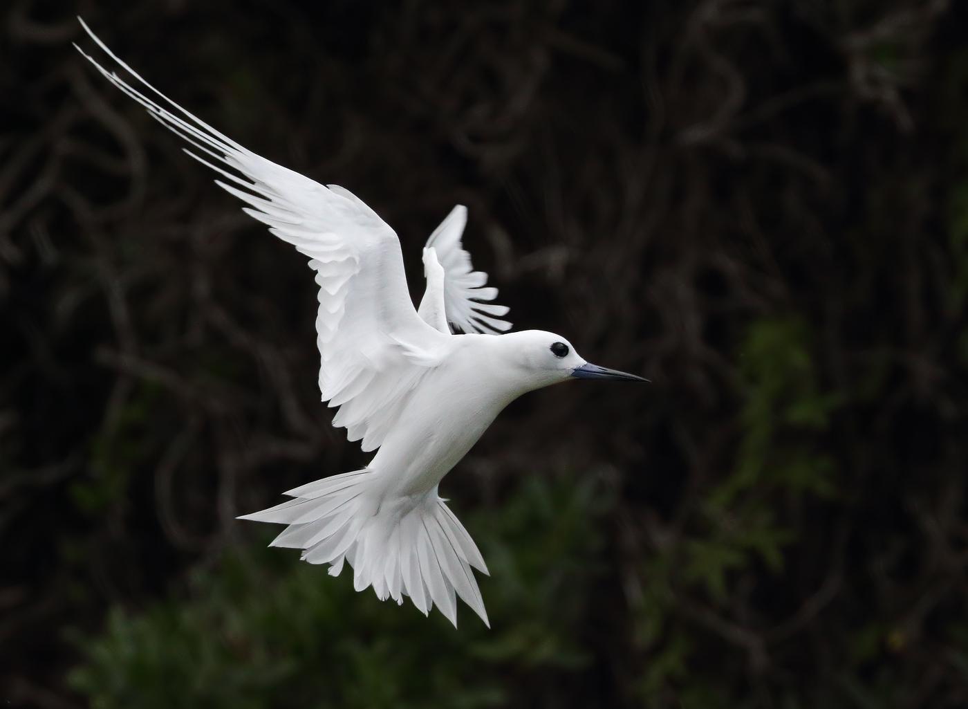 White Tern (Image ID 35135)