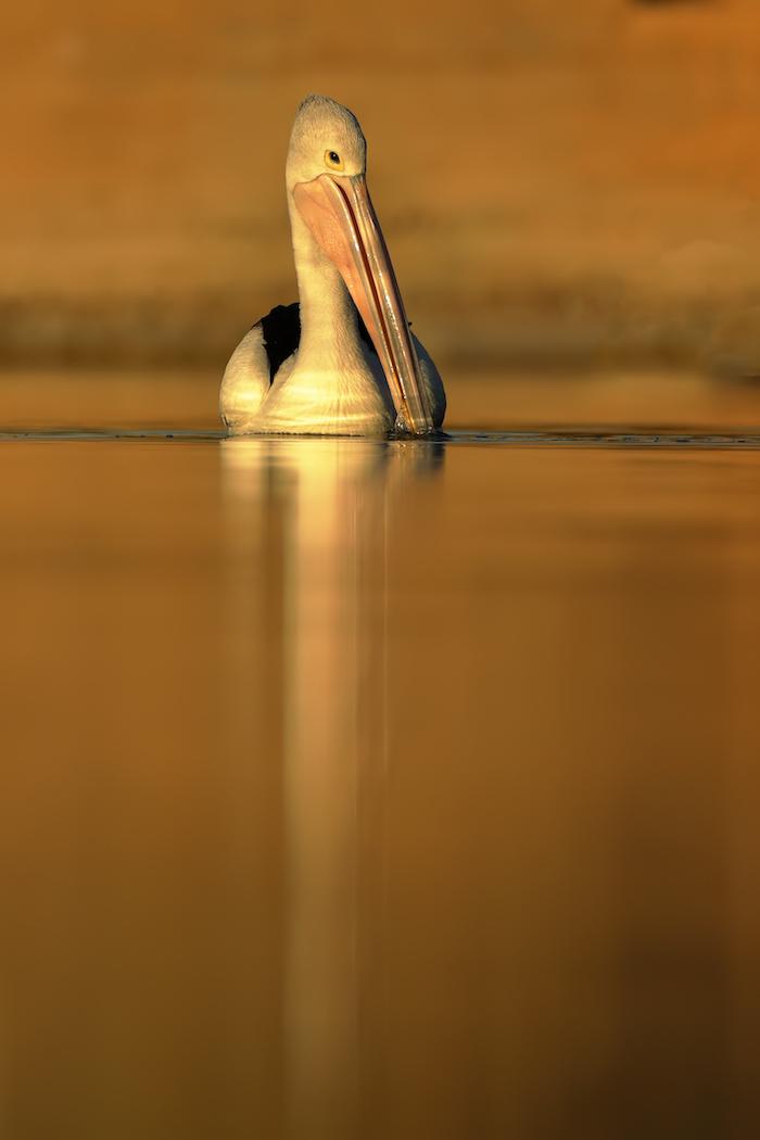Australian Pelican (Image ID 35169)