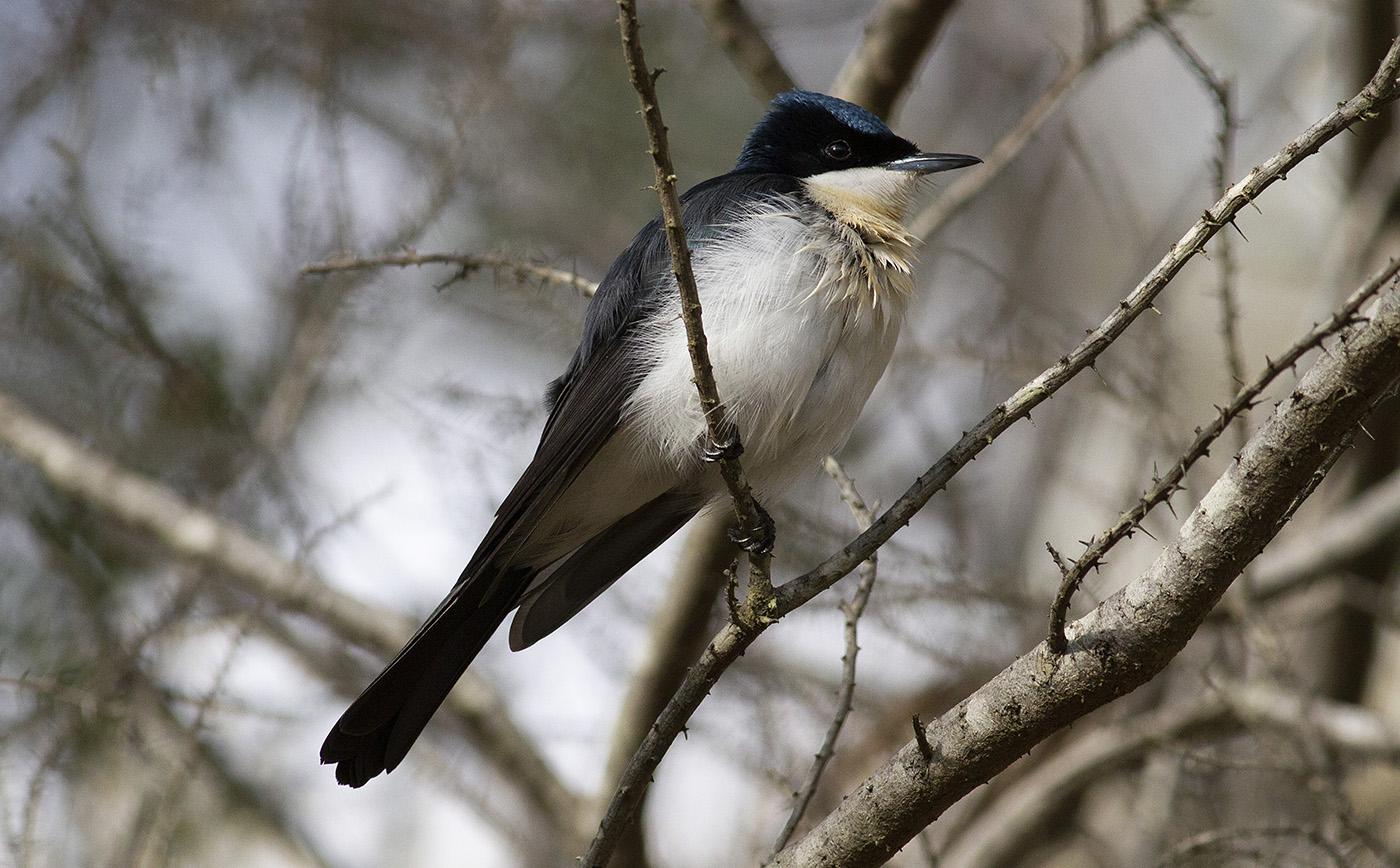 Restless Flycatcher (Image ID 35305)