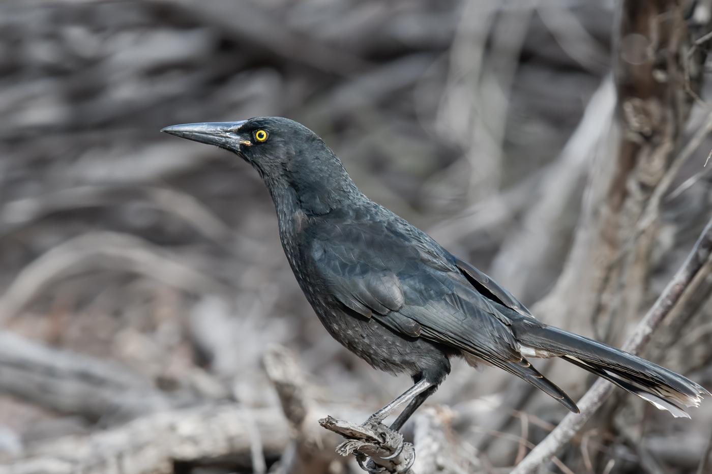 Grey Currawong (Image ID 35336)