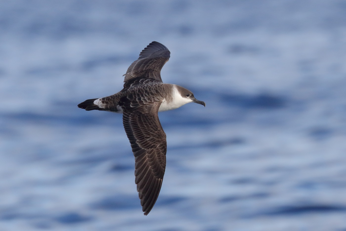 Great Shearwater (Image ID 35497)
