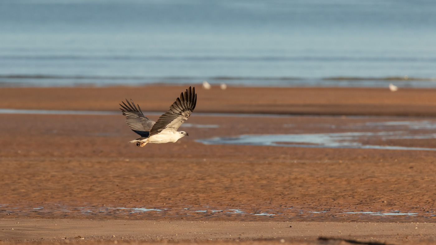 White-bellied Sea-Eagle (Image ID 35699)