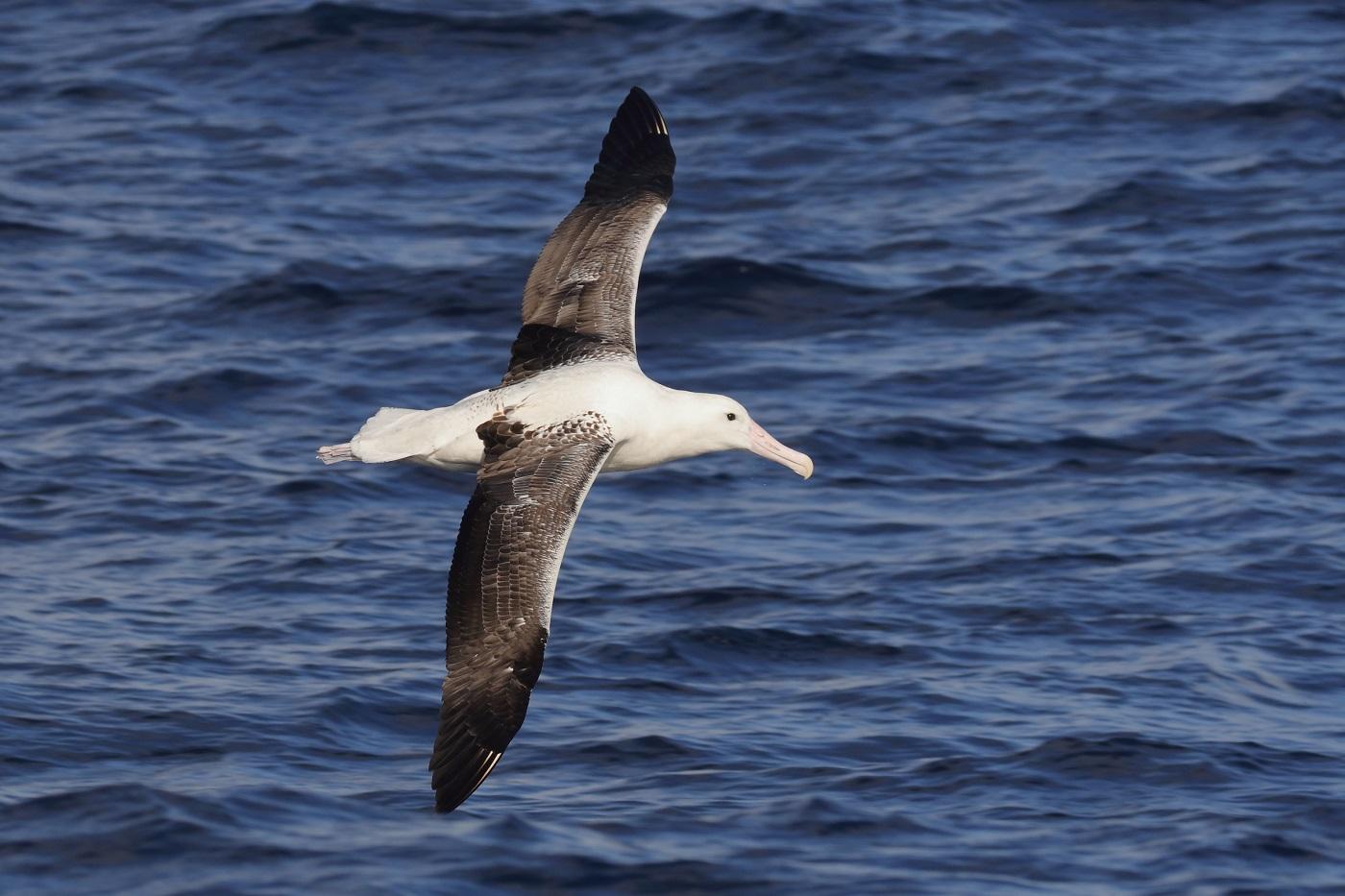 Southern Royal Albatross (Image ID 35673)