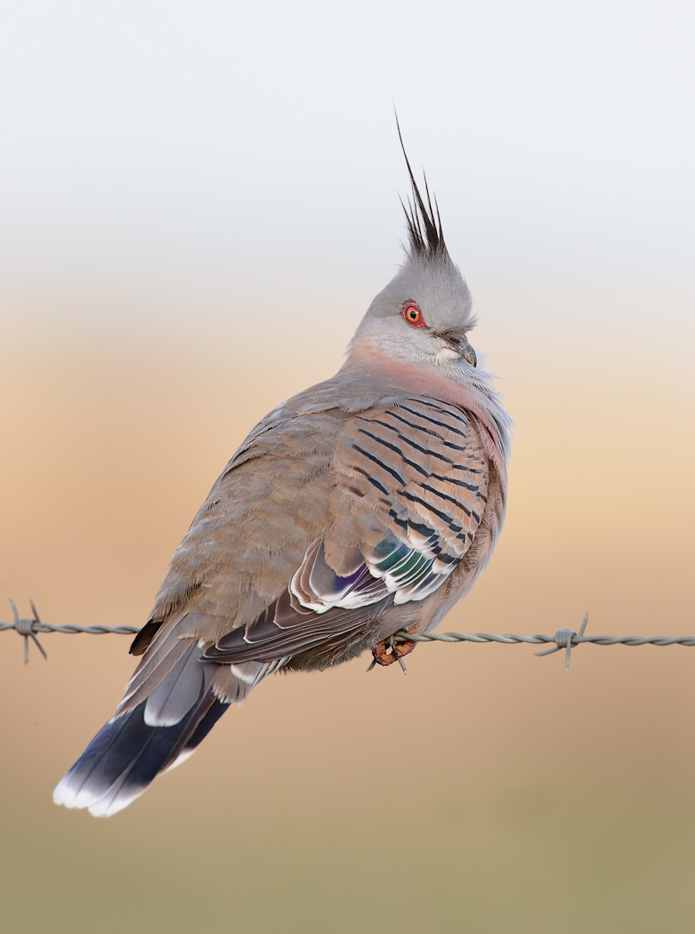 Crested Pigeon (Image ID 35607)