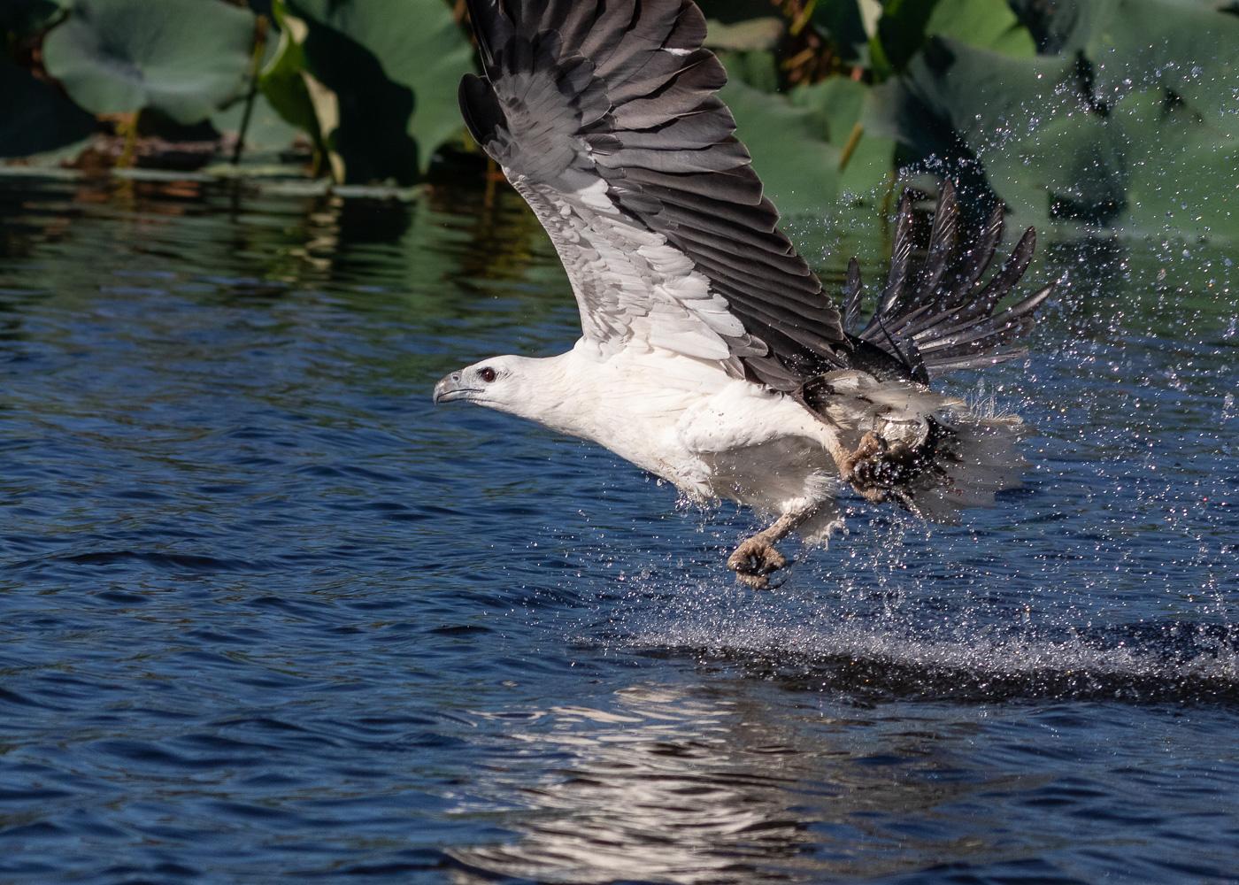 White-bellied Sea-Eagle (Image ID 35589)