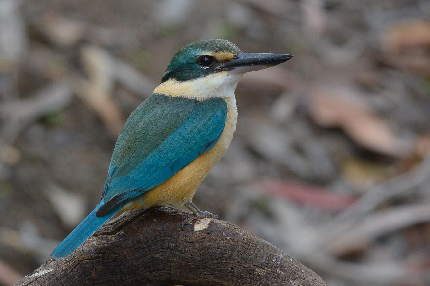 Sacred Kingfisher (Image ID 35708)