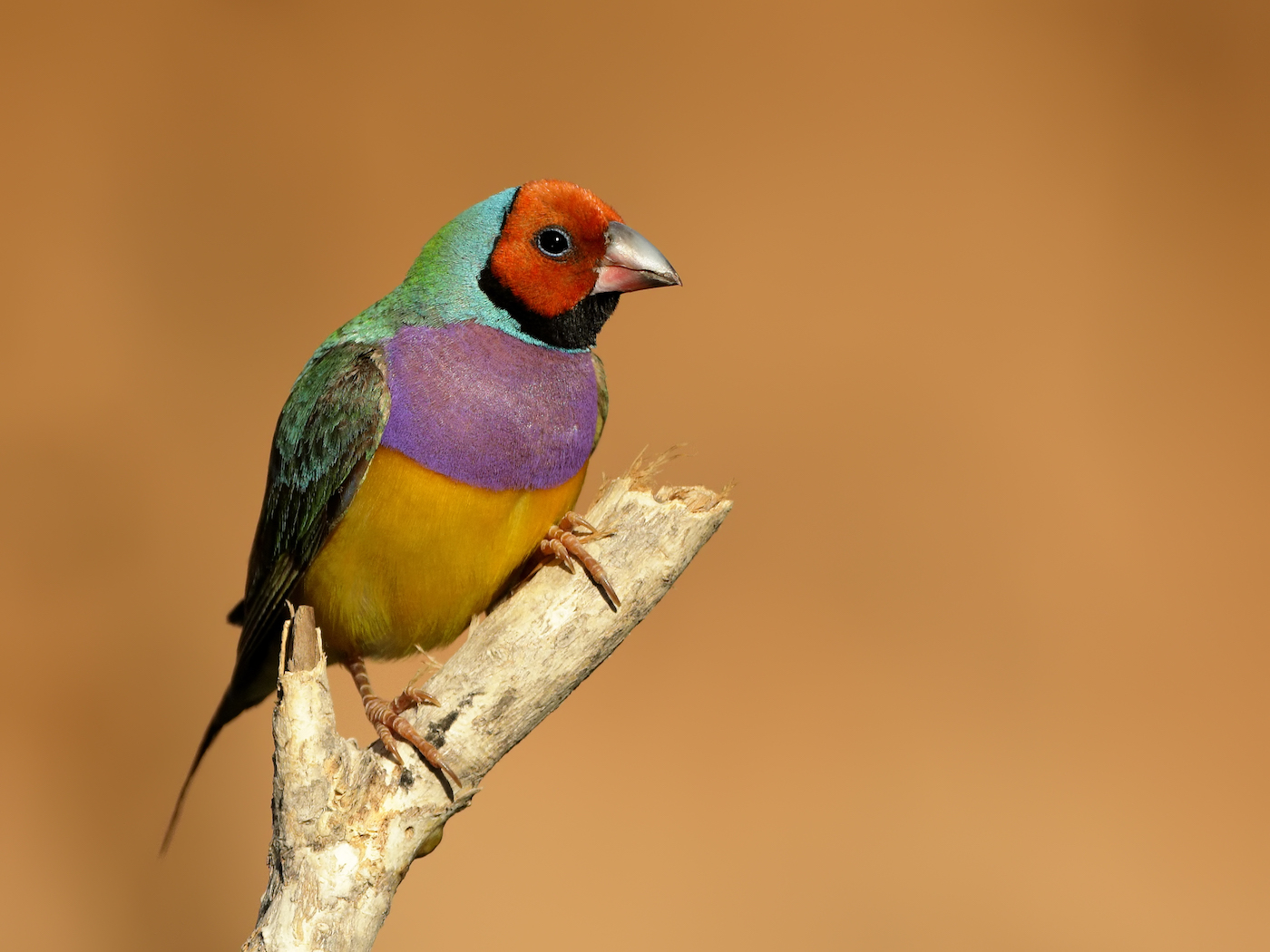 Gouldian Finch (Image ID 35738)
