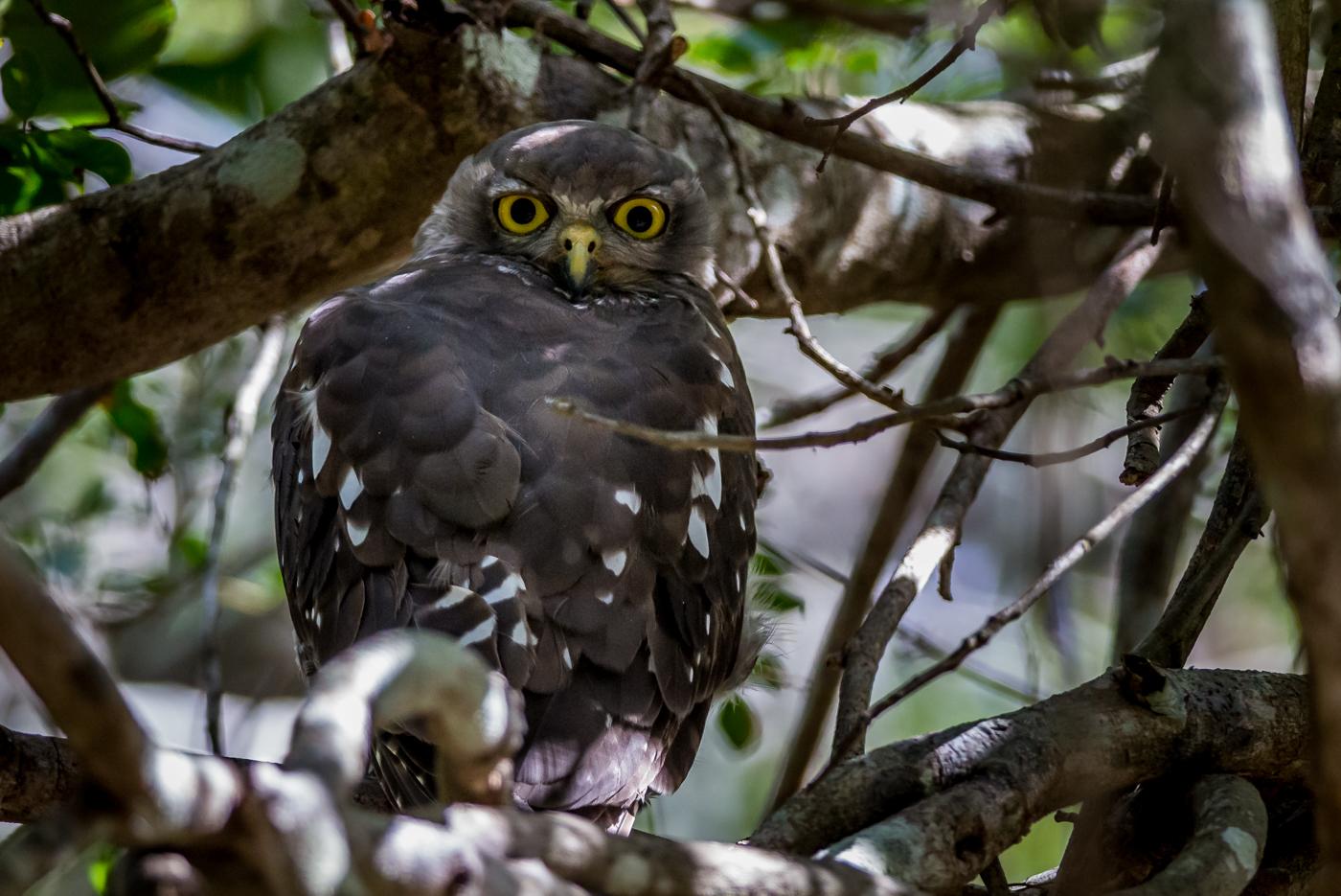 Barking Owl (Image ID 35594)