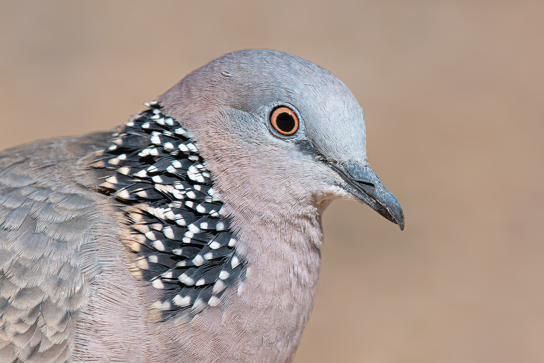 Spotted Dove (Image ID 35897)