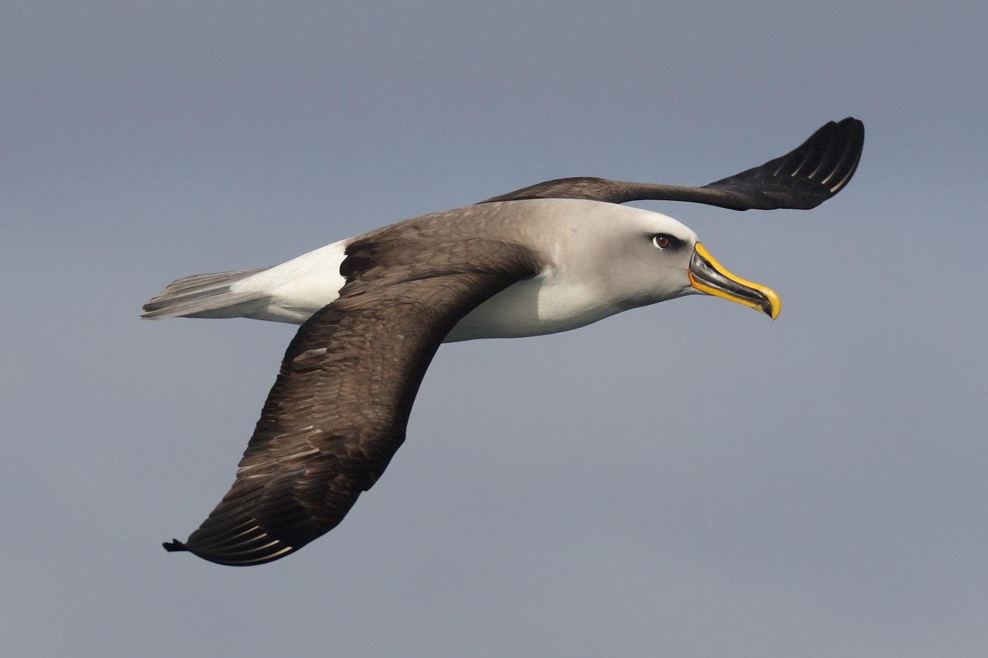 Buller's Albatross (Image ID 35644)