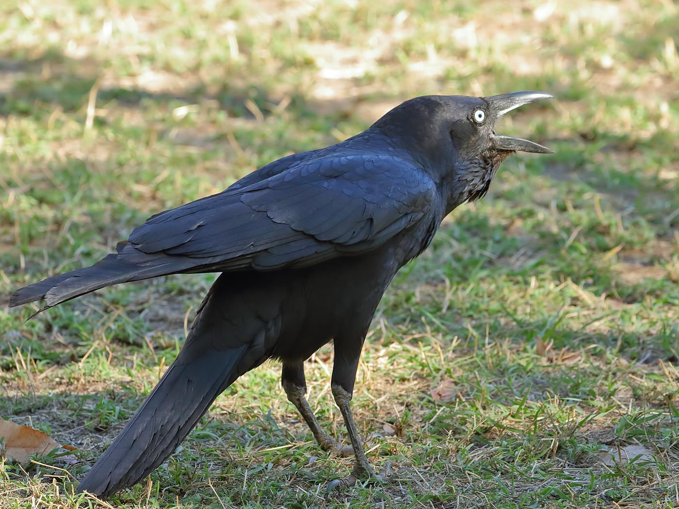 Torresian Crow (Image ID 35576)