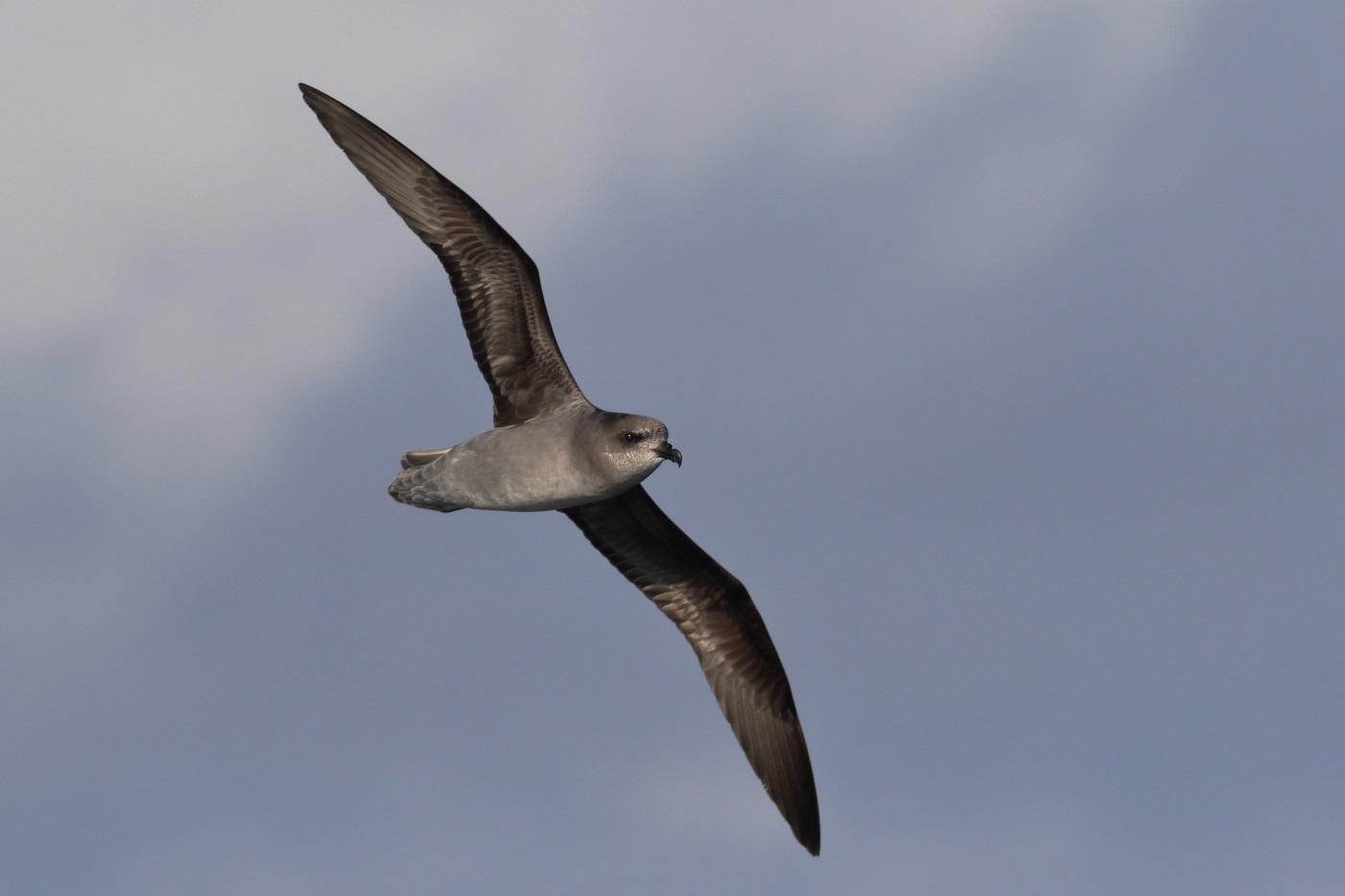Soft-plumaged Petrel (Image ID 35548)