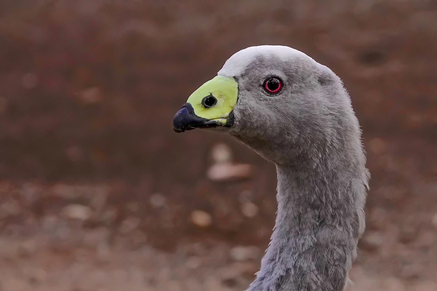 Cape Barren Goose (Image ID 35913)
