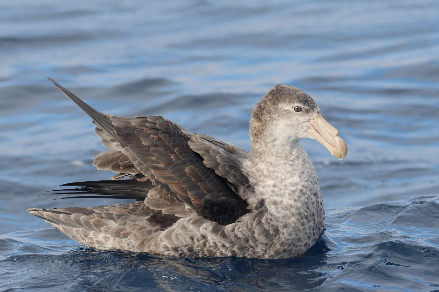 Northern Giant-Petrel (Image ID 35731)