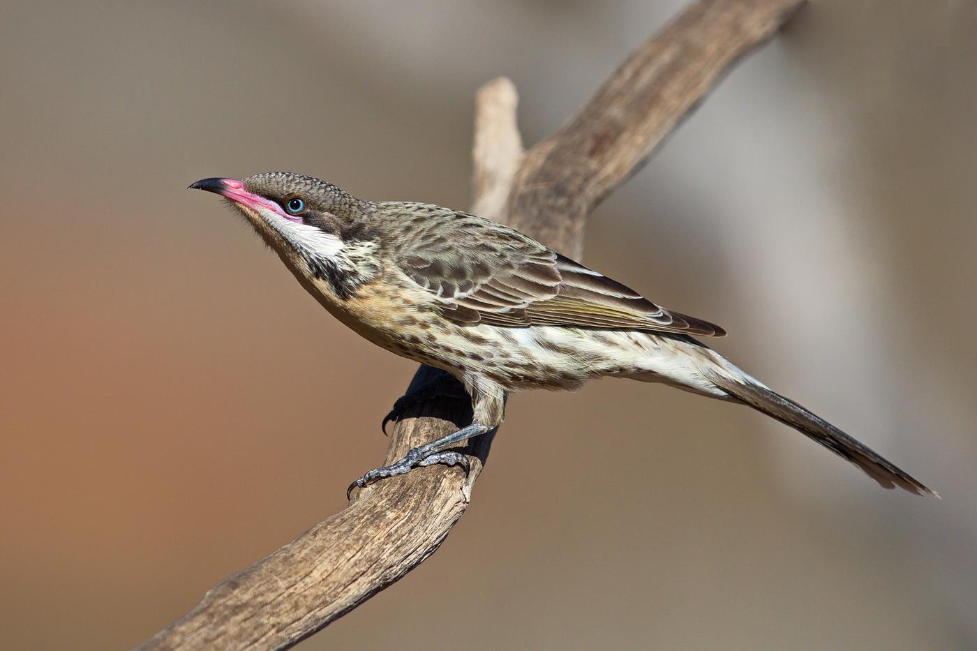 Spiny-cheeked Honeyeater (Image ID 35608)