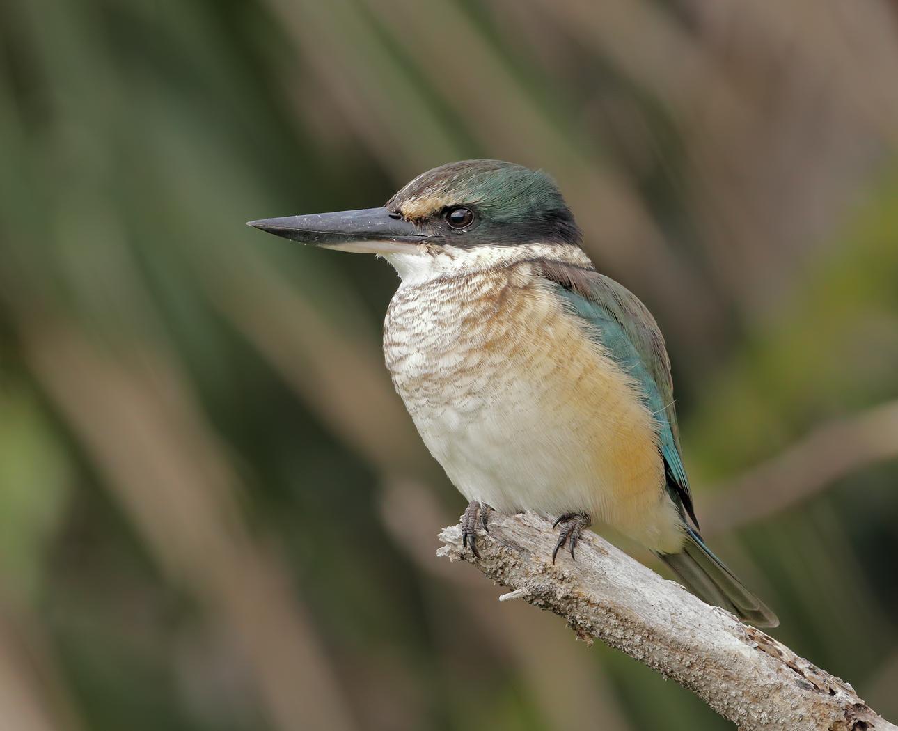 Sacred Kingfisher (Image ID 35797)