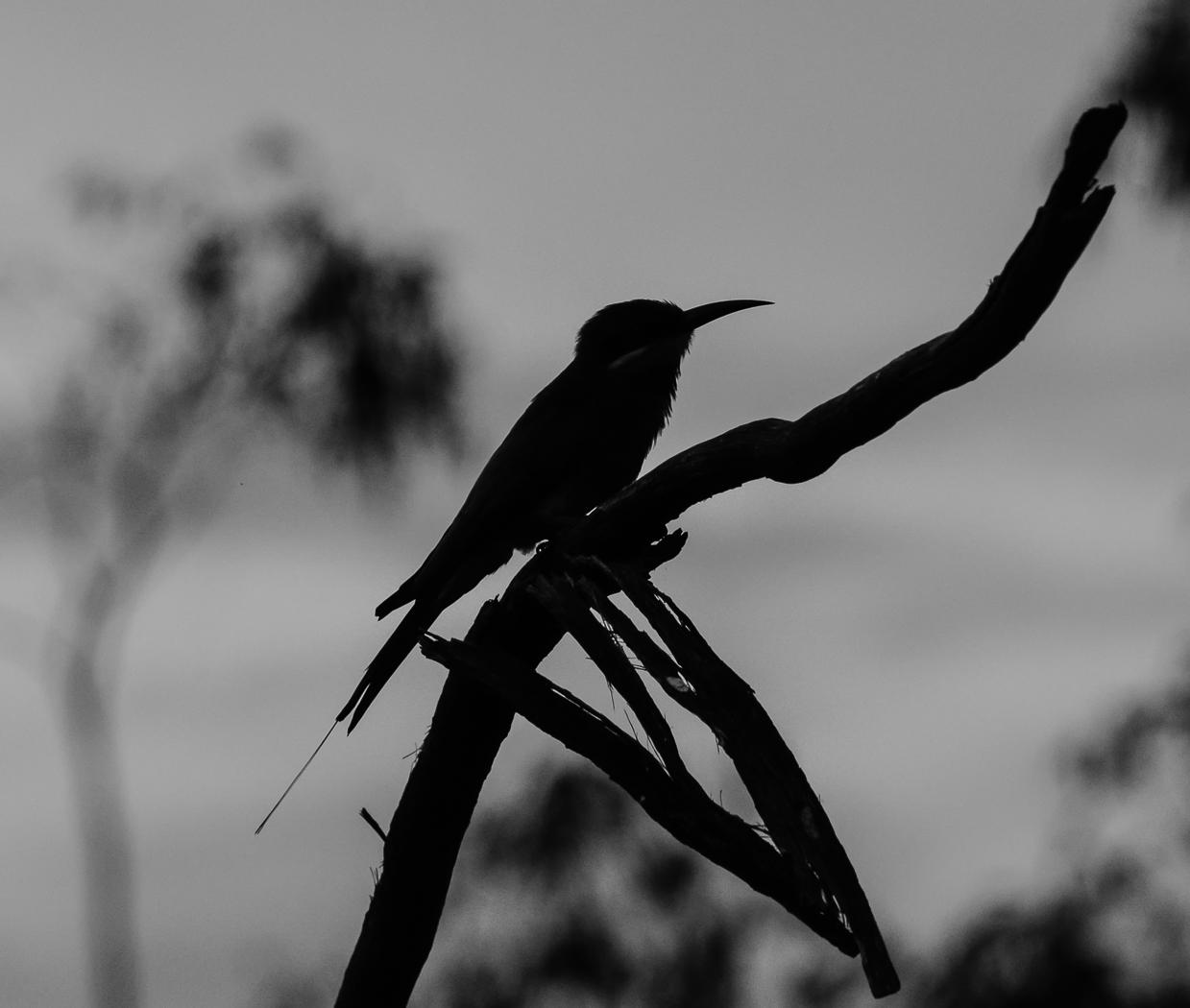 Rainbow Bee-eater (Image ID 35814)