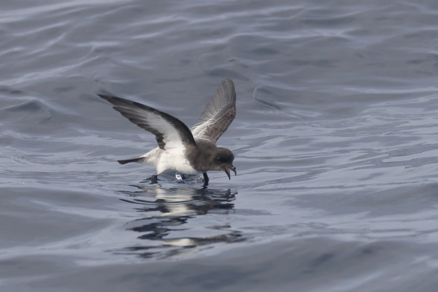 Grey-backed Storm-Petrel (Image ID 35547)